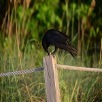 Crow On Fence Post